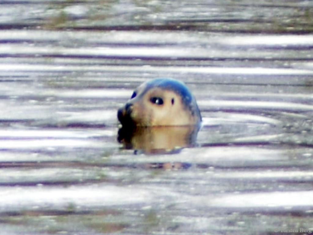 Verirrter(?) Seehund in der Weser