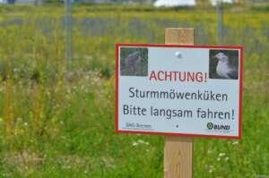 Dieses Jahr keine Sturmmöwenküken in der Bremer Überseestadt