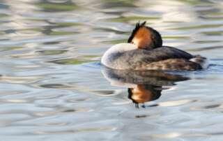 Farbenprächtige Wasservögel - Haubentaucher