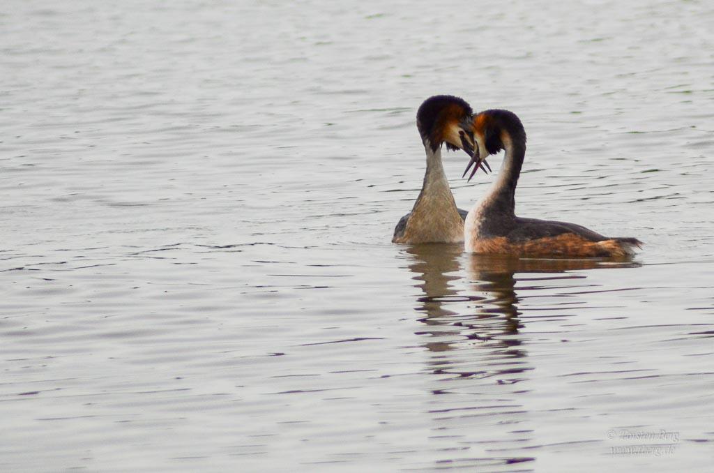 Farbenprächtige Wasservögel - die Balz der Haubentaucher