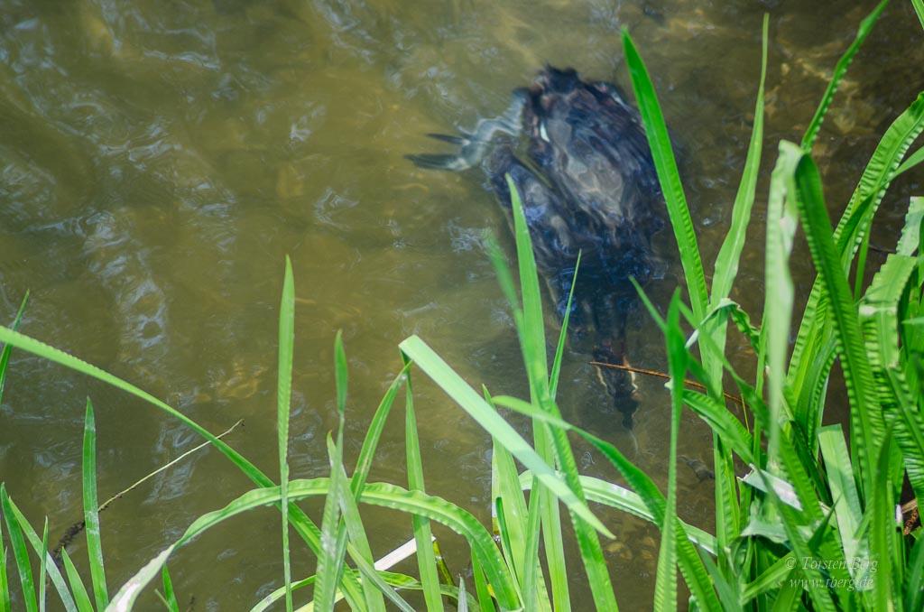 Farbenprächtige Wasservögel - nach Fischen jagender Haubentaucher