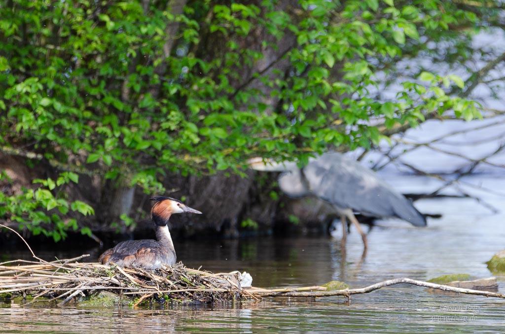 Farbenprächtige Wasservögel - Haubentaucher am Nest, im Hintergrund ein Graureiher