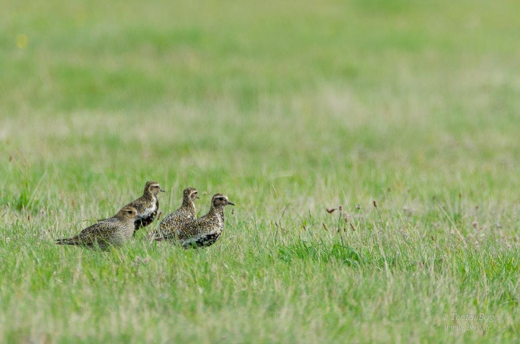 Phänomenale Vogelbeobachtungen beim Vogelzug: Goldregenpfeiffer sind während der Zugzeit massenhaft in Norddeutschland zu beobachten.