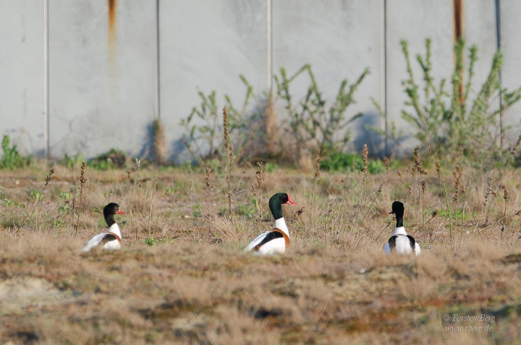 Phänomenale Vogelbeobachtungen beim Vogelzug: Brandgänse kommen im Winterhalbjahr vermehrt zu uns.