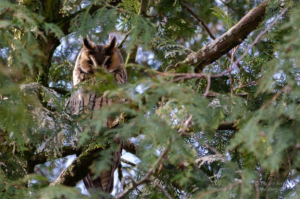 Phänomenale Vogelbeobachtungen beim Vogelzug: Waldohreulen überwintern gern in den warmen Städten.
