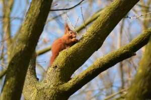 Akrobat im Geäst – das Eichhörnchen