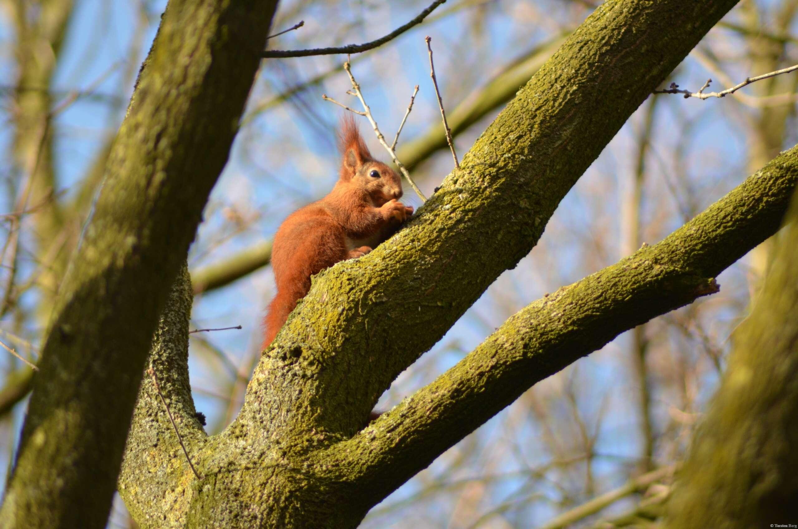 Akrobat im Geäst - das Eichhörnchen