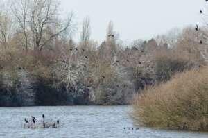 Schwarze Fischer in Bremen – der Kormoran