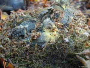 Tote Jungvögel werden viel zu oft in Nistkästen gefunden.