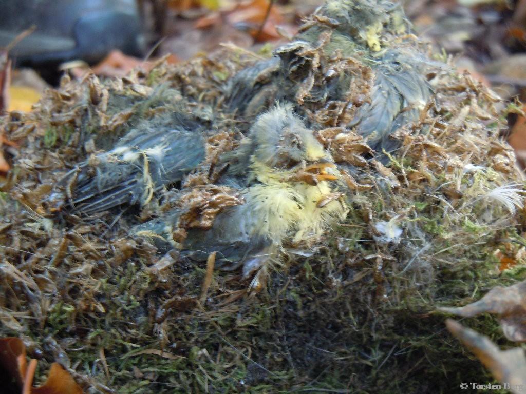 Staatlich gefördertes Wohnungsbauprogramm für Singvögel - Nistkastenprojekt vom NABU Bremen - tote junge Blaumeisen in einem Nistkasten