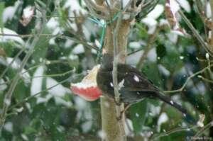 Winterfütterung unserer heimischen Singvögel