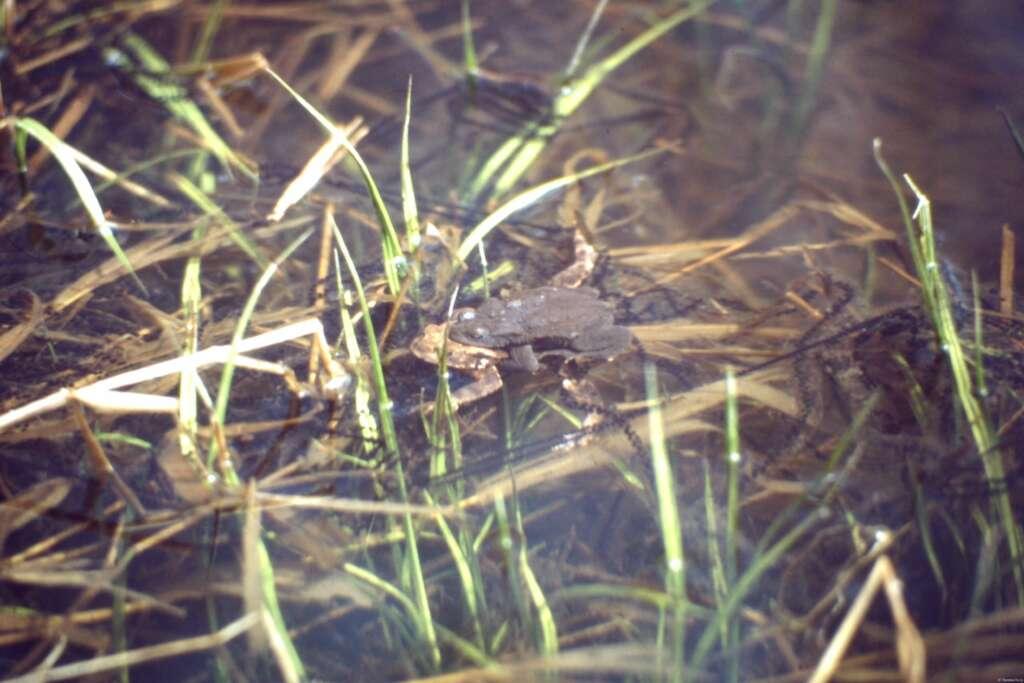 Laichende Erdkröten an einem Harzer Weiher (1991)