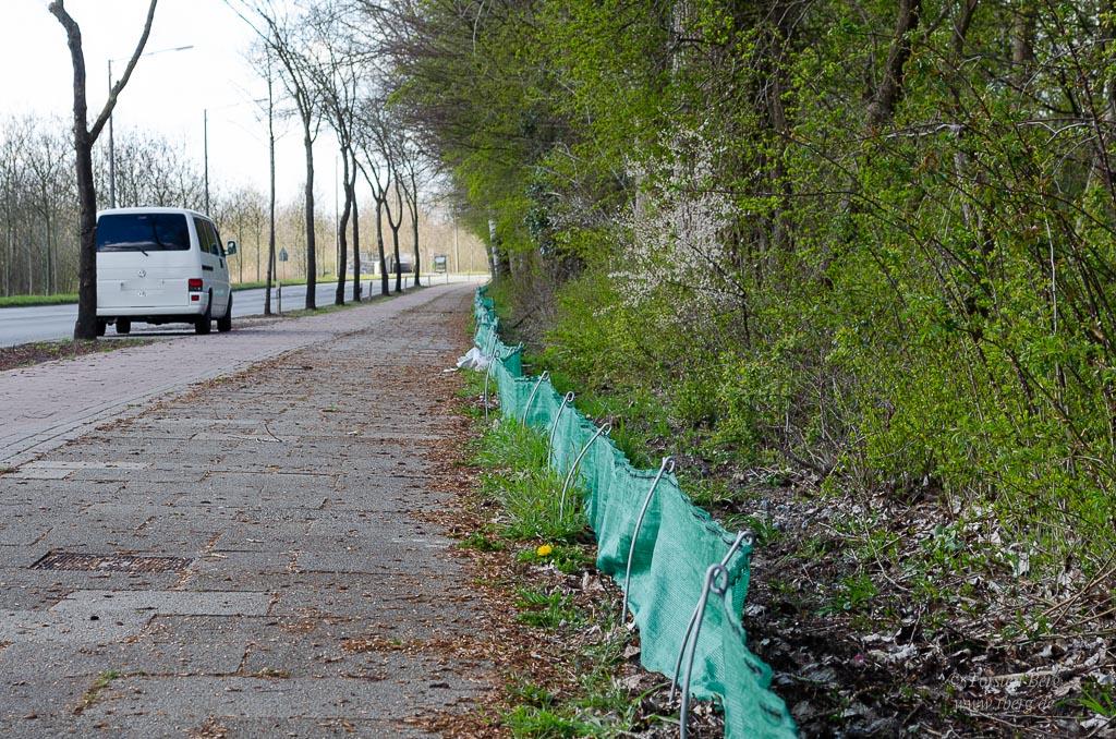 Krötentod im Frühling bei der Krötenwanderung - der Krötenzaun des NABU in Bremen