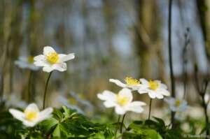 Frühlingsboten Buschwindröschen