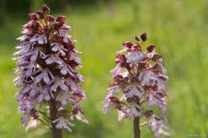 Knabenkräuter - wilde Orchideen in Deutschland