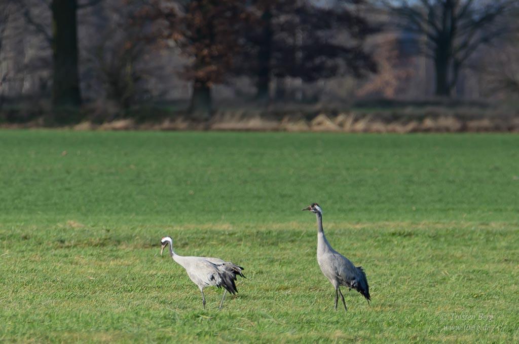 Vögel als Wintergäste in Deutschland beobachten: auch Kraniche überwintern mittlerweile in unseren Breitengraden