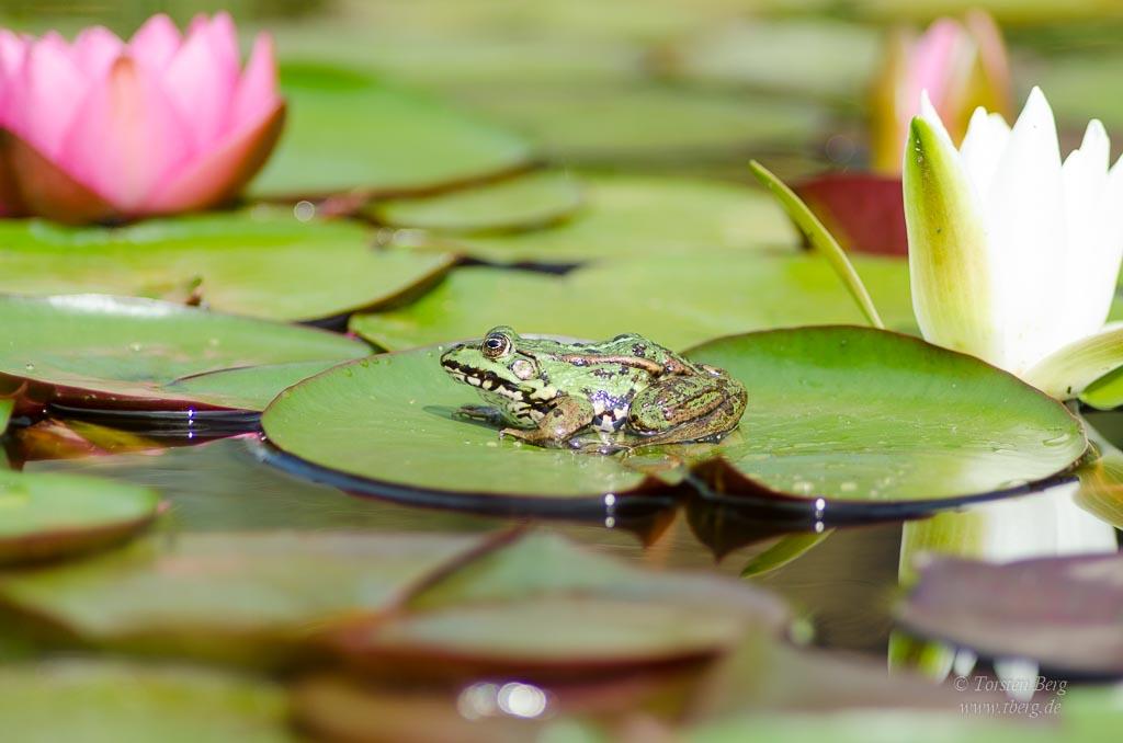 Prinzen im Seerosenteich - bei den Teichfröschen