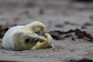 Robben fotografieren auf Helgoland – meine Tipps