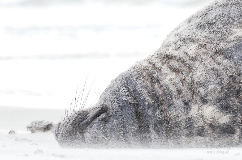Robben fotografieren auf Helgoland - meine Tipps
