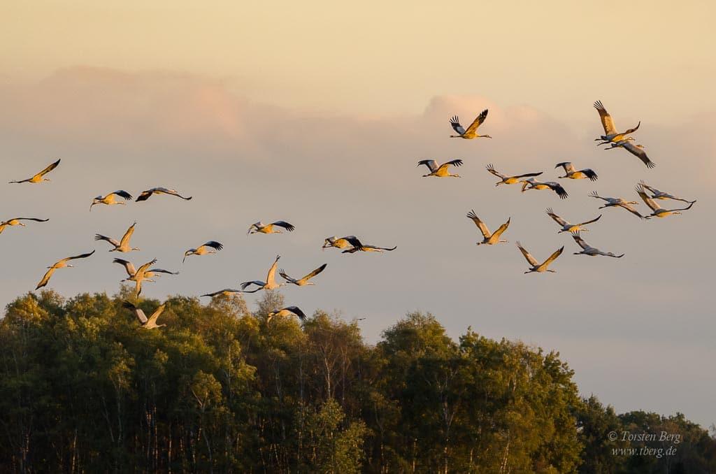 Phänomenale Vogelbeobachtungen beim Vogelzug: Kraniche im Morgenlicht in der Diepholzer Moorniederung
