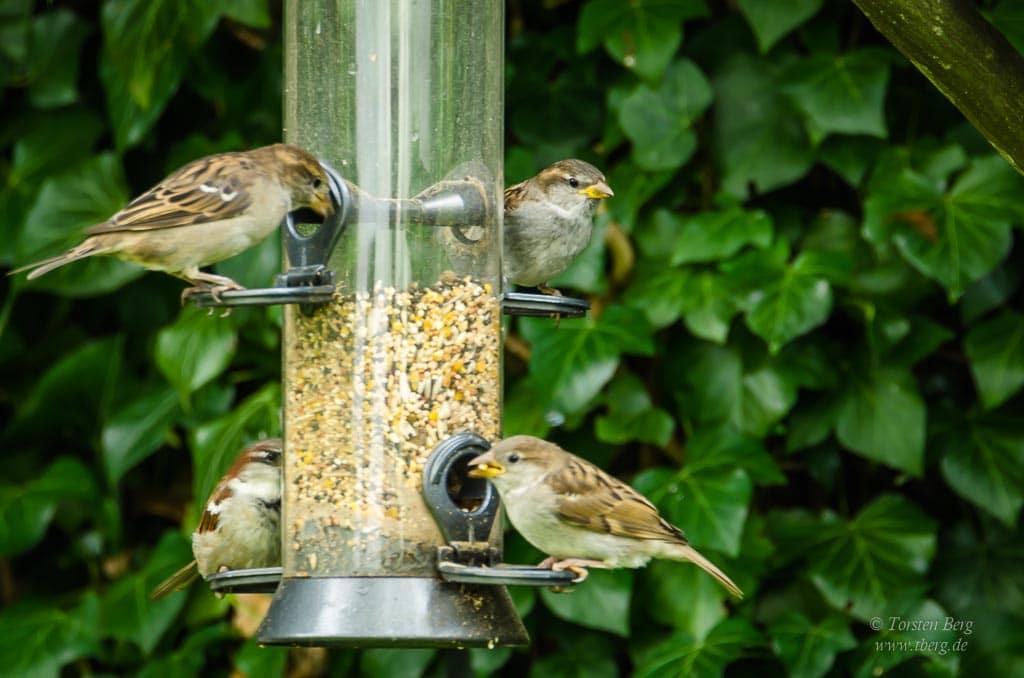 Mitmachen bei der Stunde der Wintervögel - mittlerweile wieder häufiger zu sehen: die Haussperlinge