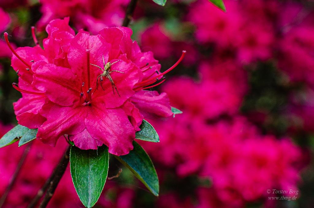 Rhododendronpark Bremen mit Botanischem Garten - Springspinne in einer Blüte