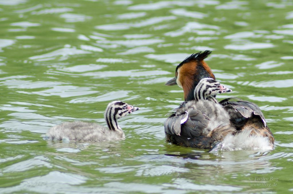 Farbenprächtige Wasservögel - Haubentaucher mit Nachwuchs im Dunenkleid