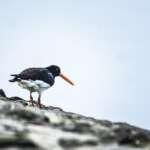 #Blogger4Natur: Domenik von Naturfotografie Domenik Schmid Austernfischer