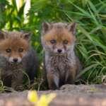 #Blogger4Natur: Domenik von Naturfotografie Domenik Schmid Jungfüchse vor dem Bau