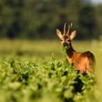 #Blogger4Natur: Domenik von Naturfotografie Domenik Schmid Rehbock iM Feld