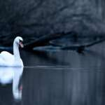 #Blogger4Natur: Domenik von Naturfotografie Domenik Schmid Höckerschwan im Nebel