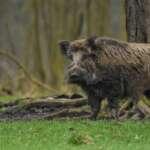 #Blogger4Natur: Domenik von Naturfotografie Domenik Schmid Wildschwein