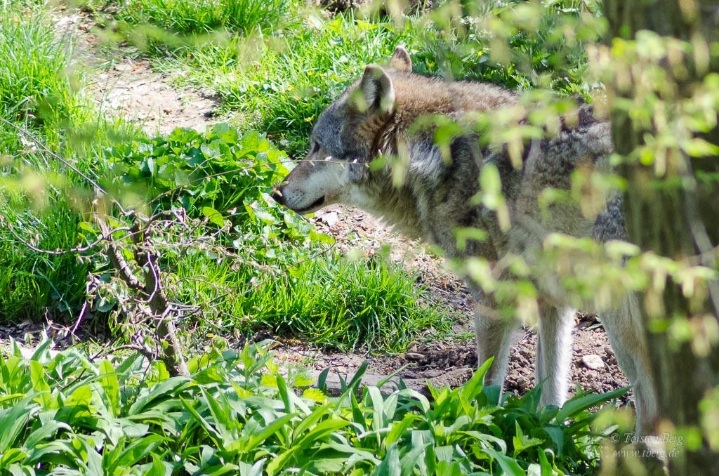 Seit 2016 ist der Wolf in Bremen wieder angekommen