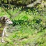 Seit knapp 15 Jahren ist der Wolf wieder in Deutschland heimisch!