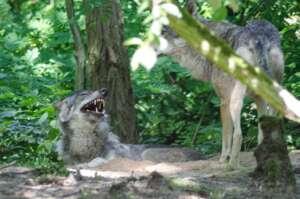 Wilde Wölfe in der Lüneburger Heide – Expeditionstagebuch