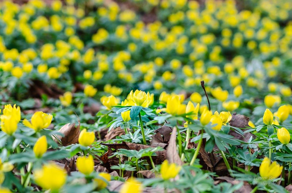 Gedanken im Februar 2020 - es wird bald Frühling - die Winterlinge blühen schon