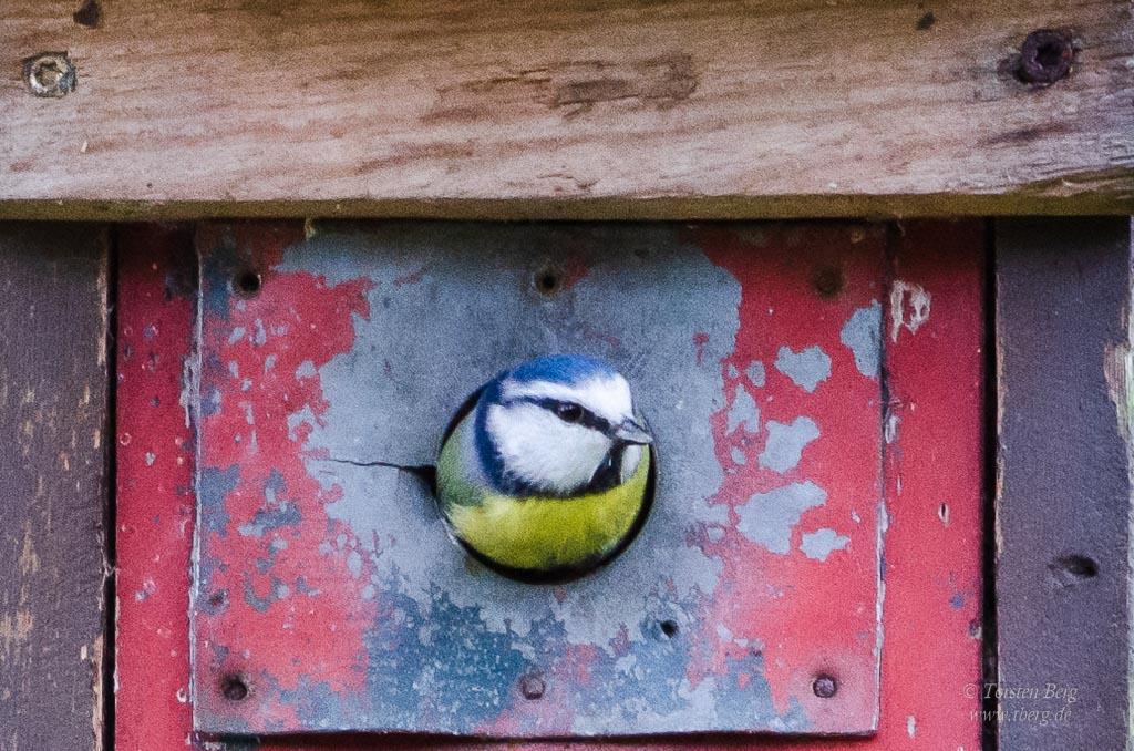 Gedanken im April - Frühling: mit Besorgnis erfahre ich von einem noch unbekannten Meisensterben. Foto: Blaumeise schaut aus ihren Nistkasten heraus.