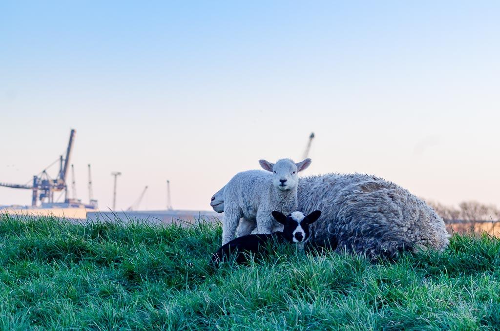 Seit 2016 ist der Wolf in Bremen wieder angekommen - Konflikte mit dem Wolf können durch frühe Diskussionen und Informationen vermieden werden; im Bild: ungeschützte Schafe und Lämmer auf dem Weserdeich