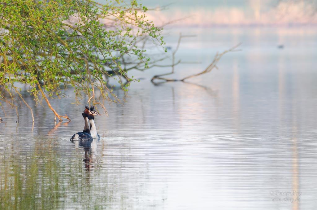 unterwegs in der natur: wieder rausgehen, Landschaften, Tiere und Pflanzen neu entdecken - Haubentaucherpärchen auf der Kleinen Weser im Morgenlicht