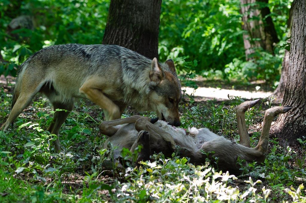 Seit 2016 ist der Wolf in Bremen wieder angekommen - weil er ein grosses Raubtier ist, bietet er Stoff für Diskussionen; Wolf beim Fressen eines Damtieres