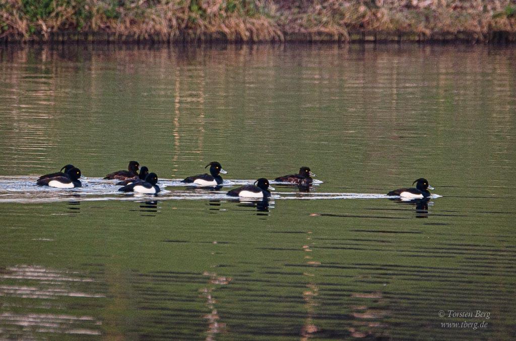 die Prozession: eine Gruppe Reiherenten schwimmt in Formation die Kleine Weser entlang
