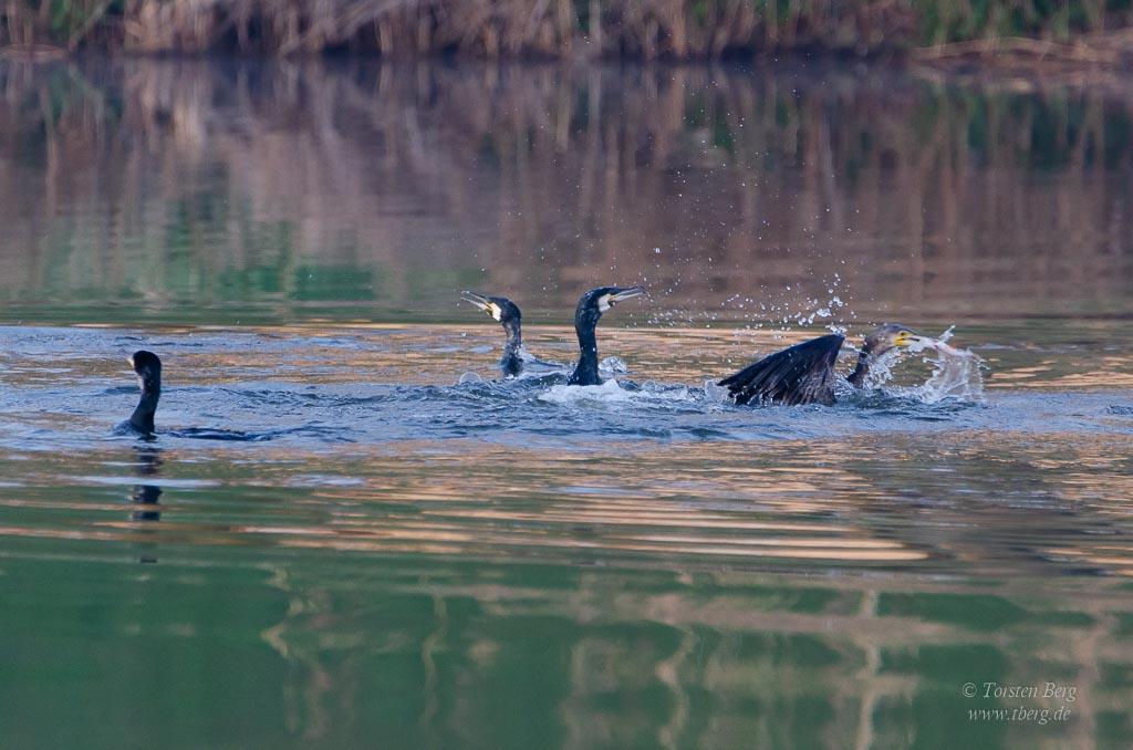 Jagende Kormorane auf der Kleinen Weser