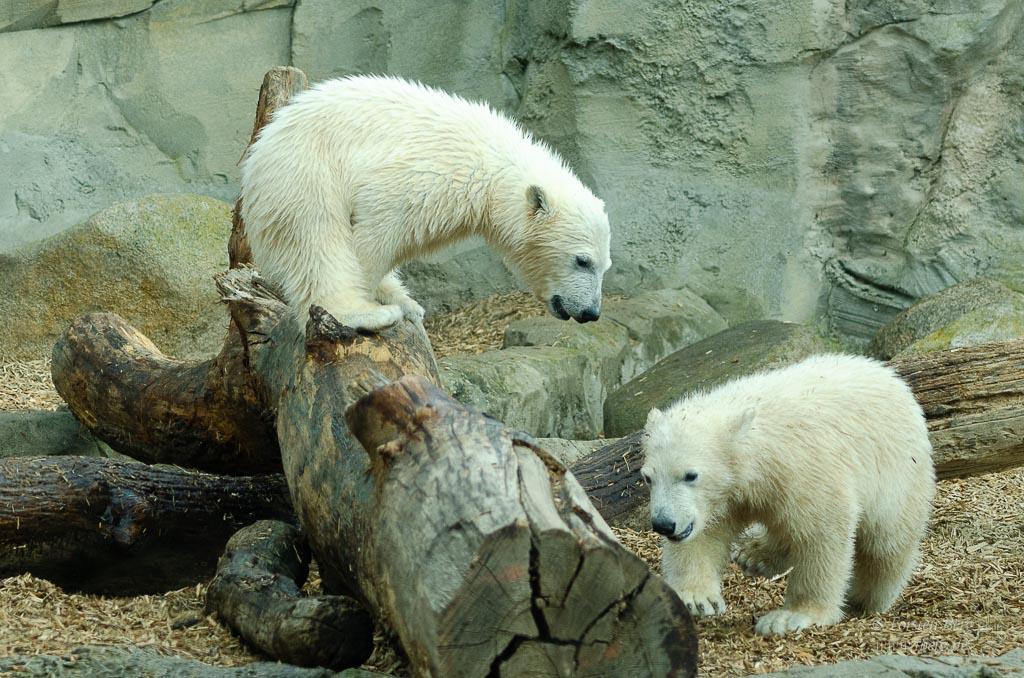Fotoparade 2020 - wie in einer anderen Zeit - die jungen Eisbärenmädchen im Zoo am Meer Bremerhaven #kalt