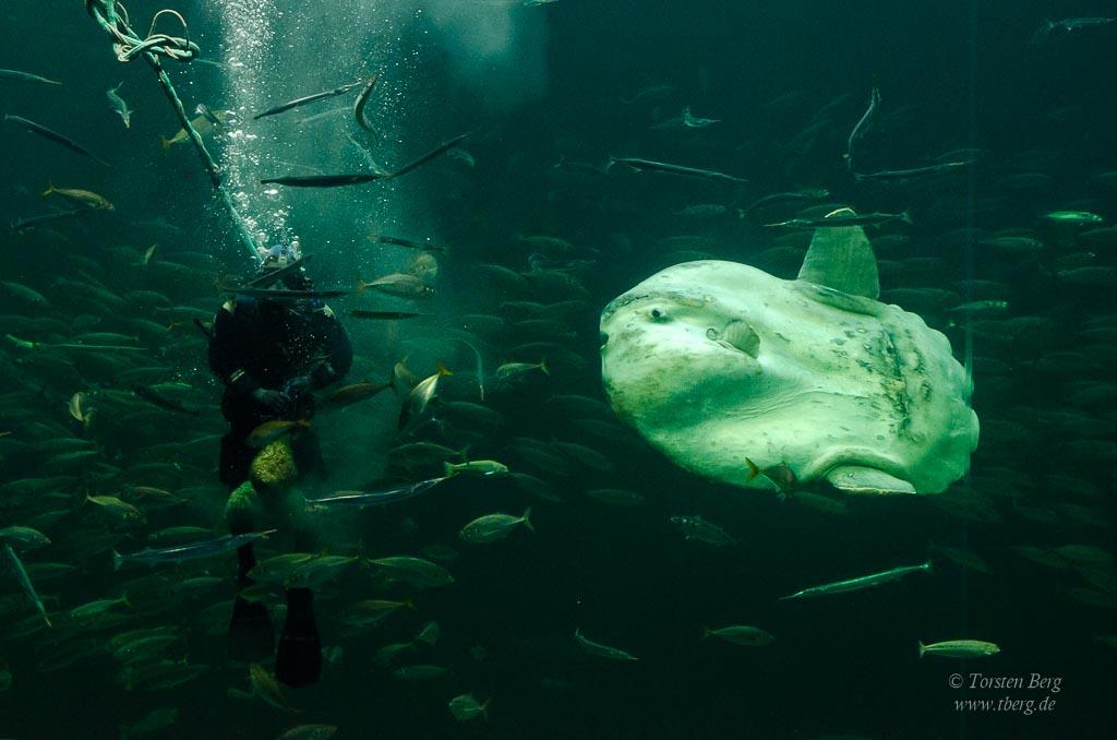 Gedanken im Juni 2020 - Mondfisch im Aquarium in Hirtshals