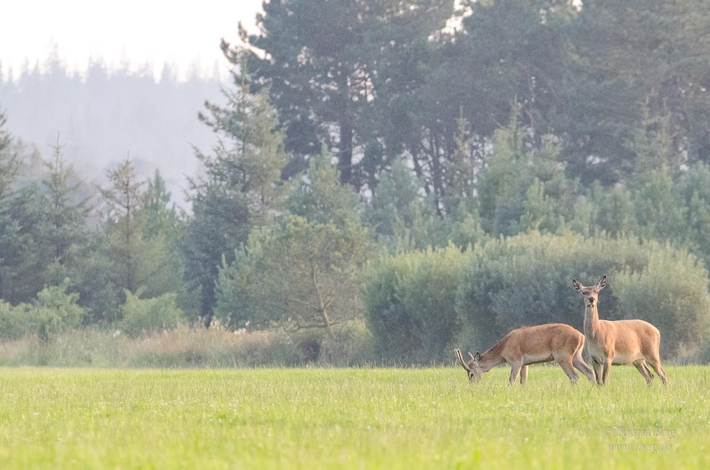 Nationalpark Thy in Dänemark - Rotwild im Hanstholm Wildreservat