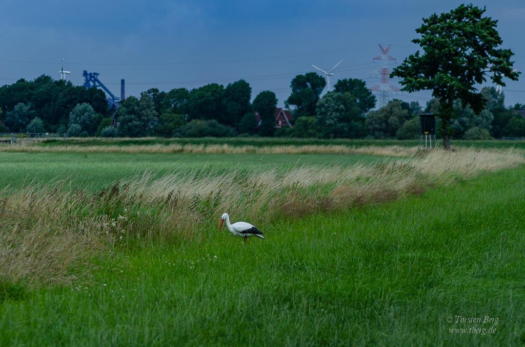 Ochtumniederung bei Brokhuchting - ein Spassvogel hat einen Storch auf die WIese gestellt ...