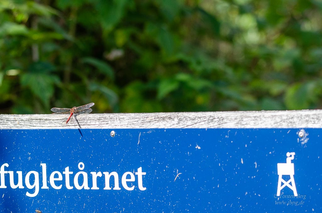 Wildlife-Safari in Lille Vildmose in Dänemark - Libelle am Wegweiser :-)