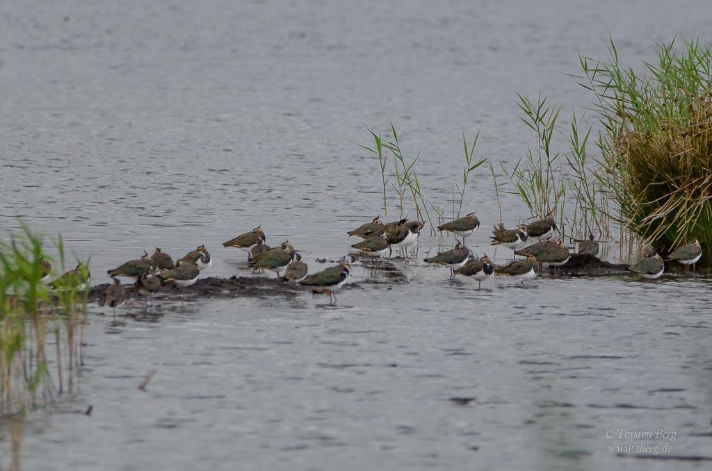 Phänomenale Vogelbeobachtungen beim Vogelzug: Immer seltener werden Kiebitze. Die grossen Ansammlungen zur Zugzeit täuschen.