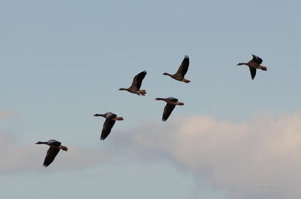 Phänomenale Vogelbeobachtungen beim Vogelzug: Massen an Wildgänse und Enten fallen uns auf