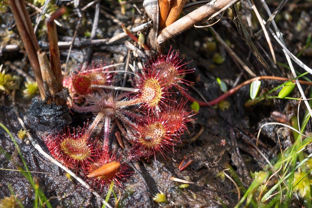 Wildlife-Safari in Lille Vildmose in Dänemark - Sonnentau, eine fleischfressende Pflanze im Portlandmosen